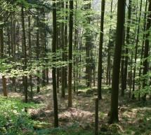Експерти проверяват случая с изсичането на вековни дървета в Сандански